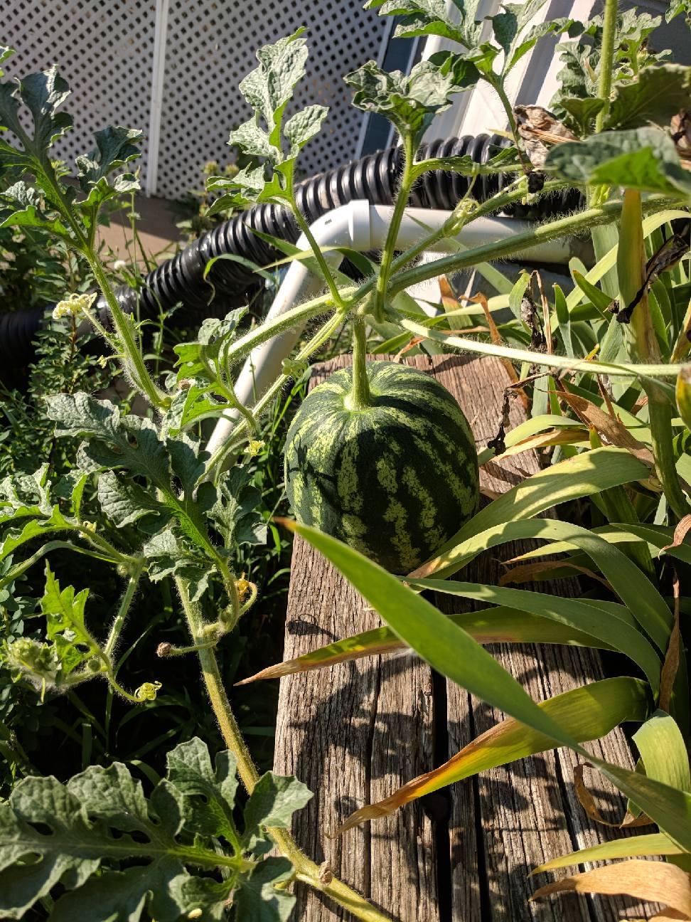 first watty melon