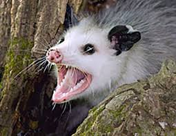 oppossum3