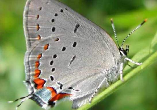 acadian-hairstreak-butterfly