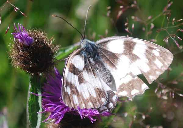 bath-white-butterfly