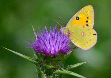 clouded-yellow-butterfly