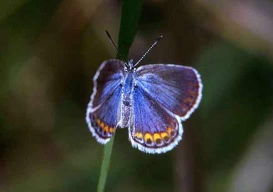 karner-blue-butterfly