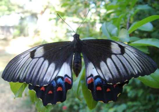 orchard-swallowtail-butterfly