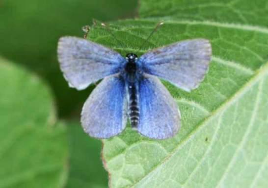 palos-verdes-blue-butterfly