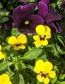 yellow purple