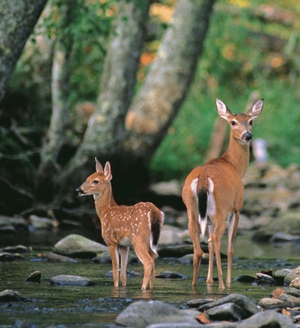 Fallow-deer-doe-fawn-woodland-stream